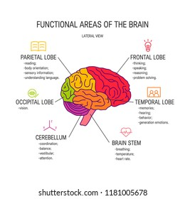 Functional areas of the brain, vector illustration