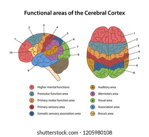 Functional areas of the Cerebral Cortex with labeled. Lateral and superior views of cerebrum. Vector illustration