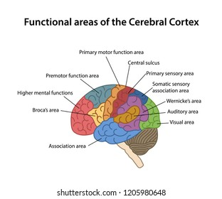 Functional areas of the Cerebral Cortex with labeled. Lateral view of cerebrum. Vector illustration