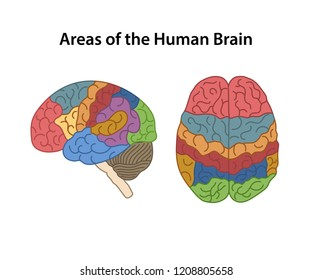 Functional areas of the Cerebral Cortex. Lateral and superior views of cerebrum. Vector illustration