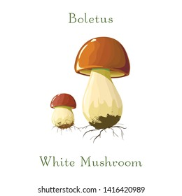 funghi porcini or Boletus mushrooms on white background for culinary design label and product market.Realistic vector illustration. Hand drawing. Raw vegetarian food. Cartoon style porcini mushrooms