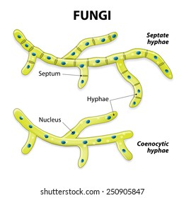 Fungi. Classification based on cell division. Septate hyphae (with septa) and aseptate hyphae (coenocytic or without septa).