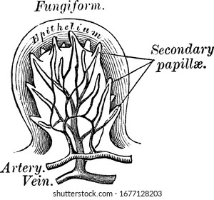 Fungiform Papillae are mushroom like and are highly vascularized papillae covering most of the dorsum of the tongue, vintage line drawing or engraving illustration.