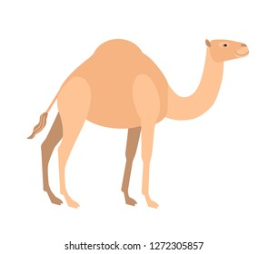 Funny cute dromedary camel isolated on white background. Wild smart Asian herbivorous ungulate mammal, desert working animal. Fauna of Asia. Colorful vector illustration in flat cartoon style.