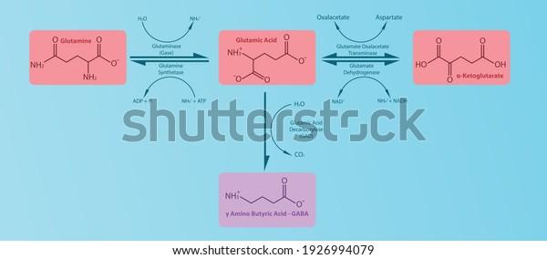gaba-neurotransmitter-synthesis-pathway-