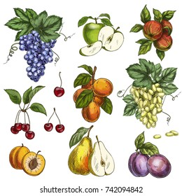 Garden fruits with leaves and branches. Cherry, apples, pear, plums, apricots, grapes. Full color realistic sketch vector illustration. Hand drawn painted illustration.