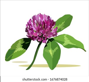 Garden plants. Summer flowers. Red clover.