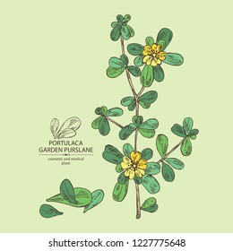 Garden purslane: purslane flowering branch and leaves. Portulaca. Cosmetic and medical plant. Vector hand drawn illustration