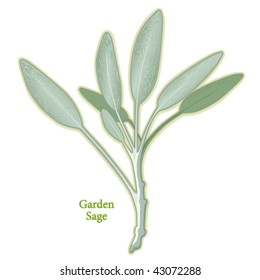 Garden Sage. Aromatic gray green leaves for cooking meats, poultry, stuffing. Also considered a medicinal health food, teas. EPS8 compatible. See other herbs and spices in this series.