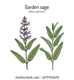 Garden sage (Salvia officinalis ), medicinal plant. Hand drawn botanical vector illustration