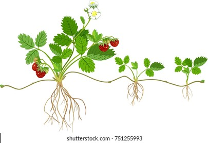 Garden strawberry plant with roots, flowers, fruits and daughter plant