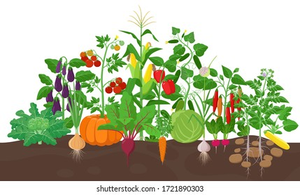 Garden with vegetable plants growing in the garden  - vector flat illustration, group of vegetable plants in soil isolated on white background.