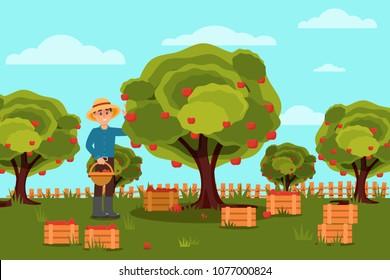 Gardener picking apples in basket. Fruit farm. Natural landscape. Wooden boxes with harvest. Flat vector design
