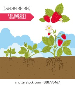 Gardening work, farming. Strawberry. Graphic template. Flat style design. Vector illustration