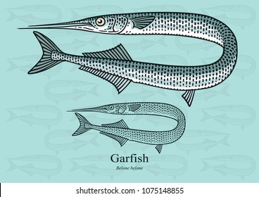 Garfish. Vector illustration with refined details and optimized stroke that allows the image to be used in small sizes (in packaging design, decoration, educational graphics, etc.)