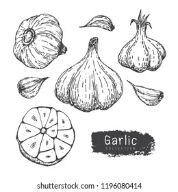 Garlic Collection, Hand Draw Garlic Vector Set iSolated White Background.