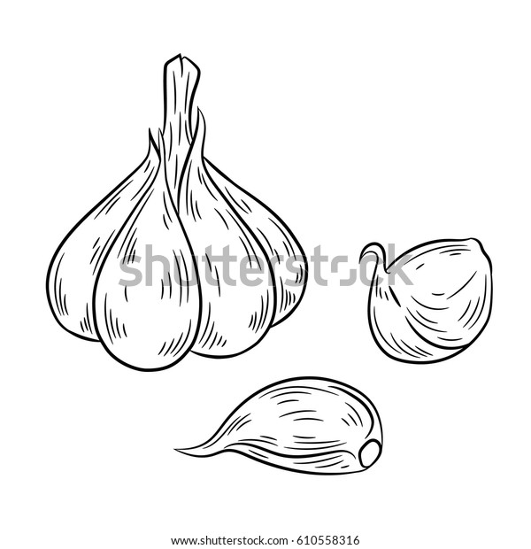 Garlic drawing. Isolated on white background. Hand drawn in a graphic style. Detailed vegetarian food. Great for menu, label, poster, print.