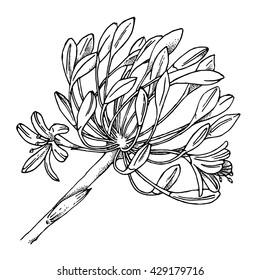 Garlic flower buds. Hand drawn sketch of garlic in vector format.