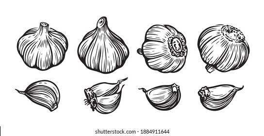 Garlic hand drawn vector illustration set. Vegetable, food, sliced pieces