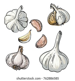 Garlic painted by a line on a white background. Colorful sketch of food. Spice
