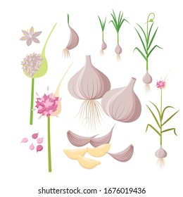 Garlic plant growing - infographic elements isolated on white background. Vector illustrations in flat design. Garlic Bulbs, cloves, flowers, seeds, ripe garlic - set of botanical drawings.