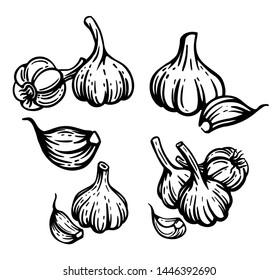 Garlic set. Hand drawn chopped garlic illustration.