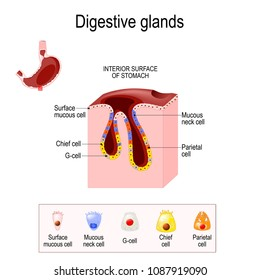 Gasric Glands. Structure of a Digestive Epithelium. Gastric glands open into the base gastric pits and into the gastric lumen. glands contain different cell populations depending on their location.