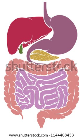Gastrointestinal Tract Digestive System Human Anatomy Stock Vector