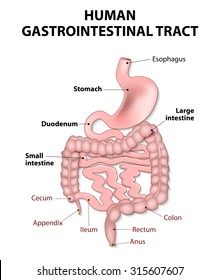 gastrointestinal tract includes all structures between the esophagus and  anus.  Human anatomy.