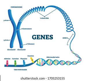 Genes vector illustration. Educational labeled structure example scheme. Adenine, sytosine, thumine and guanine closeup part of coiled helix DNA. Chromosome division with arms, chromatid and telomere.
