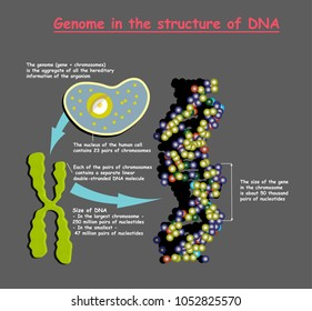 Genome 3D in the structure of DNA on grey background. genome sequence. Telomere is a repeating sequence of double-stranded DNA located at the ends of chromosomes Nucleotide, Phosphate, Sugar, and base