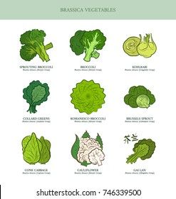 Genus Brassica vegetables set. Sprouting broccoli, Broccoli, Kohlrabi, Collard Greens, Romanesco Broccoli, Brussels Sprout, Cone Cabbage, Cauliflower, Gai Lan. Outline collection vector illustration.