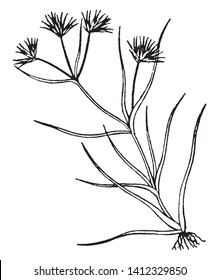 The genus of monocotyledonous flowering plants is Juncus, also known as rushes. In this image roots along with the stem, leaves stiff and often fascicles, vintage line drawing or engraving