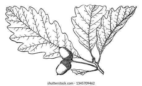 The genus Quercus is native to the Northern Hemisphere, and includes deciduous and evergreen species extending from cool temperate to tropical latitudes in the Americas, Asia, Europe, and North Africa