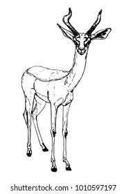 Gerenuk or giraffe gazelle vector drawing. Black and white ink sketch of long-necked antelope with horns