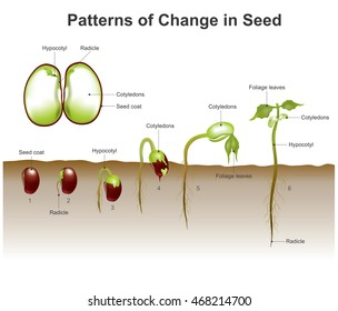 Germination is the process by which a plant grows from a seed. The most common example of germination is the sprouting of a seedling from a seed of an angiosperm or gymnosperm.