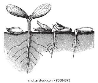 Germination seed / vintage illustration from Meyers Konversations-Lexikon 1897
