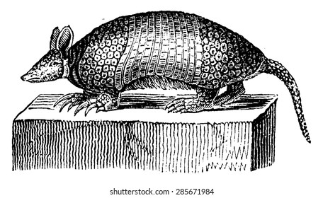 Giant armadillo, vintage engraved illustration. Natural History of Animals, 1880.