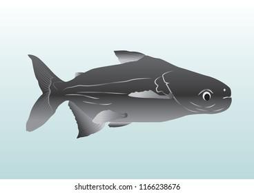 Giant Mekong Catfish vector illustration style