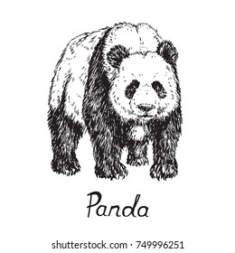 Giant panda standing, hand drawn doodle sketch with inscription, vector illustration