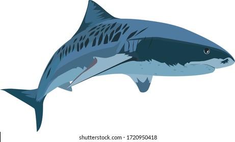 Giant tiger shark vector. Illustration tiger shark