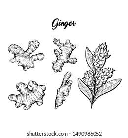 Ginger and flower blossoming plant spice set. Botanical vector illustration for posters or banner design