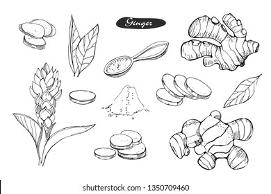 Ginger hand drawn vector illustration.Detailed colorful style sketch.Kitchen herbal spice and food ingredient.Ginger flower,powder, leaves, root and pieces .