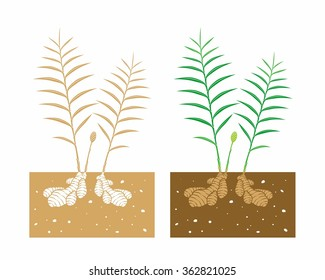 ginger plant with leaves and product
