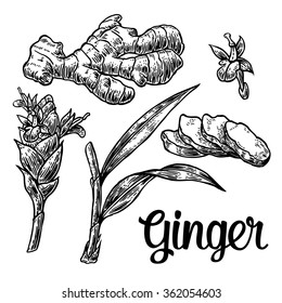 Ginger. Root, cutting, leaves, flower buds, stems. Engraving vintage vector black illustration. Isolated on white background. Hand drawn design element for label and poster