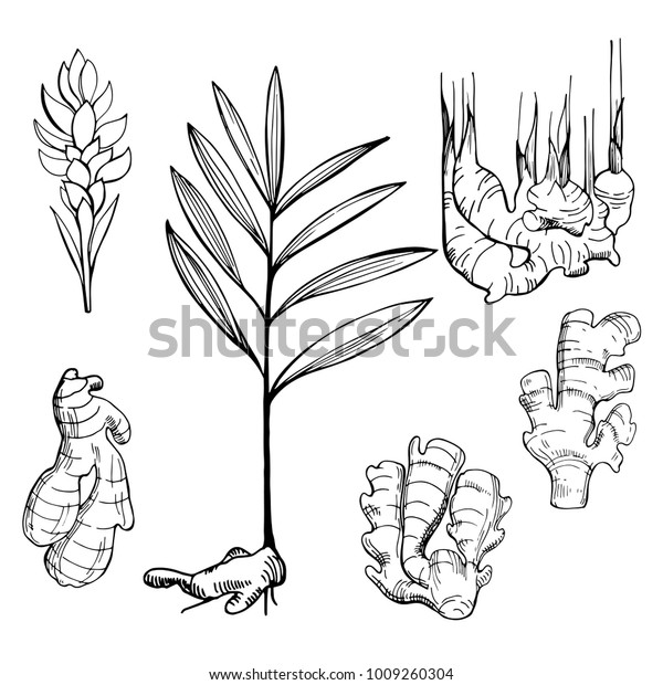 Ginger, root, leaves and flower. Hand drawn sketch illustration