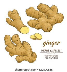 ginger roots vector set on white background