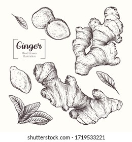 Ginger. Sliced ginger root. leavesVector Hand Drawn. Sketch Botanical Illustration. Eco healthy food. Superfood.
