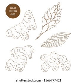 Ginger. Vector hand drawn set of cosmetic plants isolated on white background. Essential oils components illustration. Aromatherapy ingredients. Sketch collection of natural floral elements.