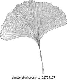 Gingko biloba leaf black and white engraving illustration